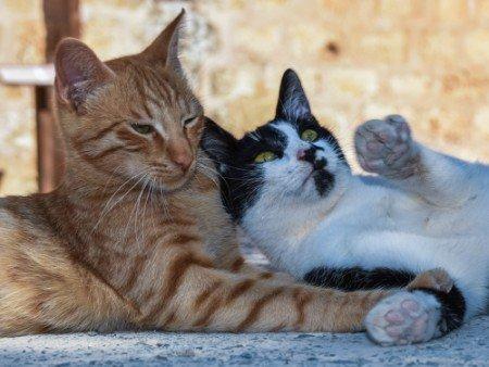 Adoptar un gato positivo a inmunodeficiencia felina