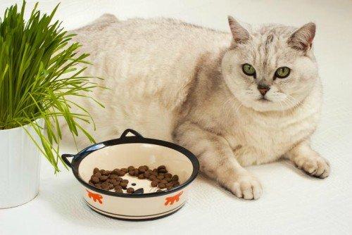 El exceso de peso y la obesidad en los gatos