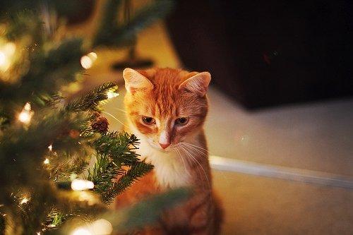 Plantas navideñas muy venenosas para gatos