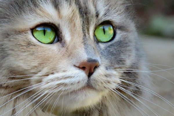 La alergia en los gatos