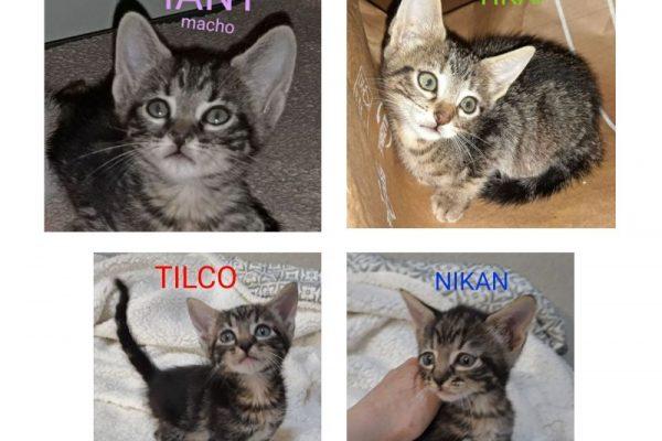 Tilco, Iany, Nikan y Tikai